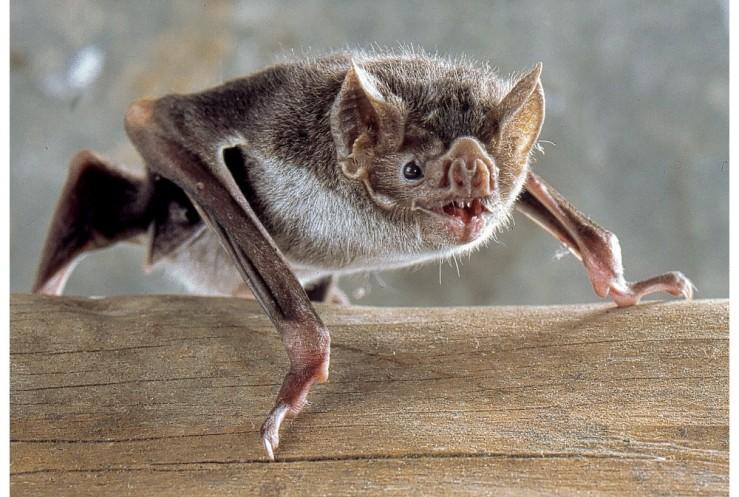 real vampire-bat